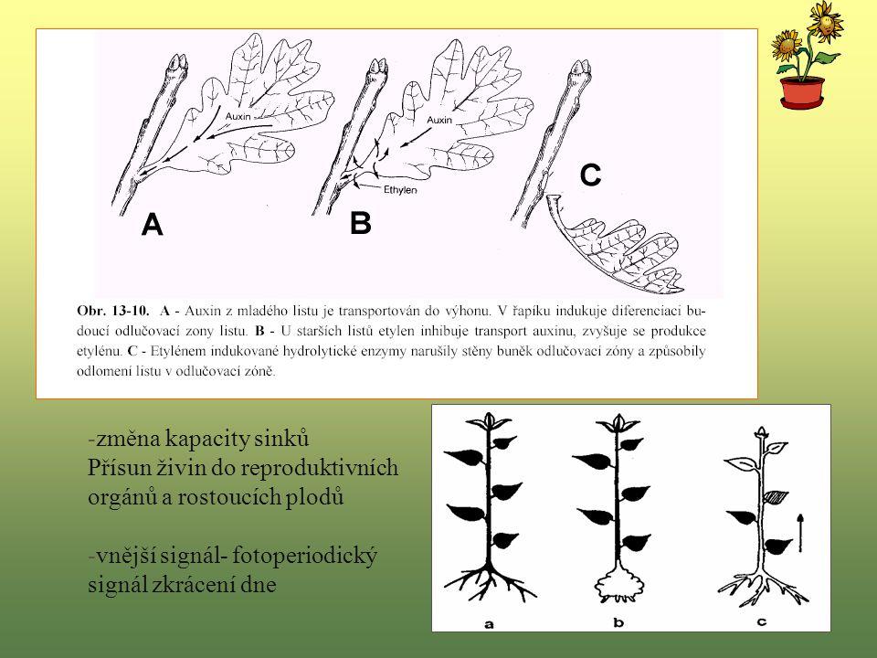 -změna kapacity sinků Přísun živin do reproduktivních orgánů a rostoucích plodů -vnější signál- fotoperiodický signál zkrácení dne