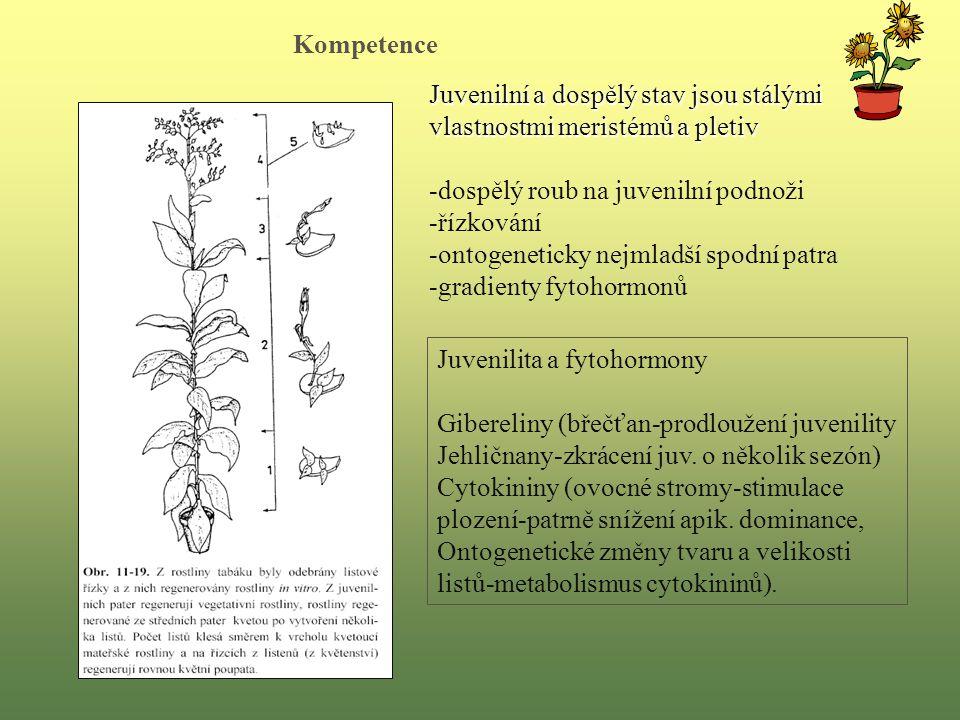 Juvenilní a dospělý stav jsou stálými vlastnostmi meristémů a pletiv -dospělý roub na juvenilní podnoži -řízkování -ontogeneticky nejmladší spodní patra -gradienty fytohormonů Juvenilita a fytohormony Gibereliny (břečťan-prodloužení juvenility Jehličnany-zkrácení juv.