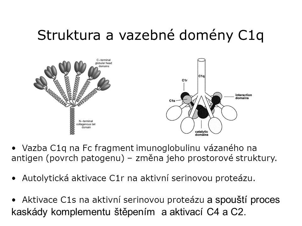 Struktura a vazebné domény C1q Vazba C1q na Fc fragment imunoglobulinu vázaného na antigen (povrch patogenu) – změna jeho prostorové struktury. Autoly
