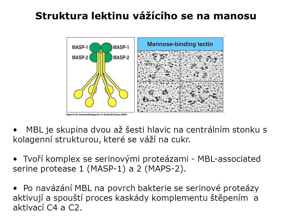 MBL je skupina dvou až šesti hlavic na centrálním stonku s kolagenní strukturou, které se váží na cukr. Tvoří komplex se serinovými proteázami - MBL-a