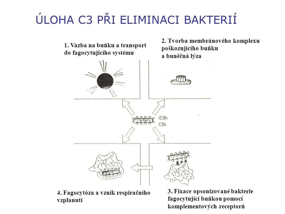 ÚLOHA C3 PŘI ELIMINACI BAKTERIÍ 1. Vazba na buňku a transport do fagocytujícího systému 2. Tvorba membránového komplexu poškozujícího buňku a buněčná