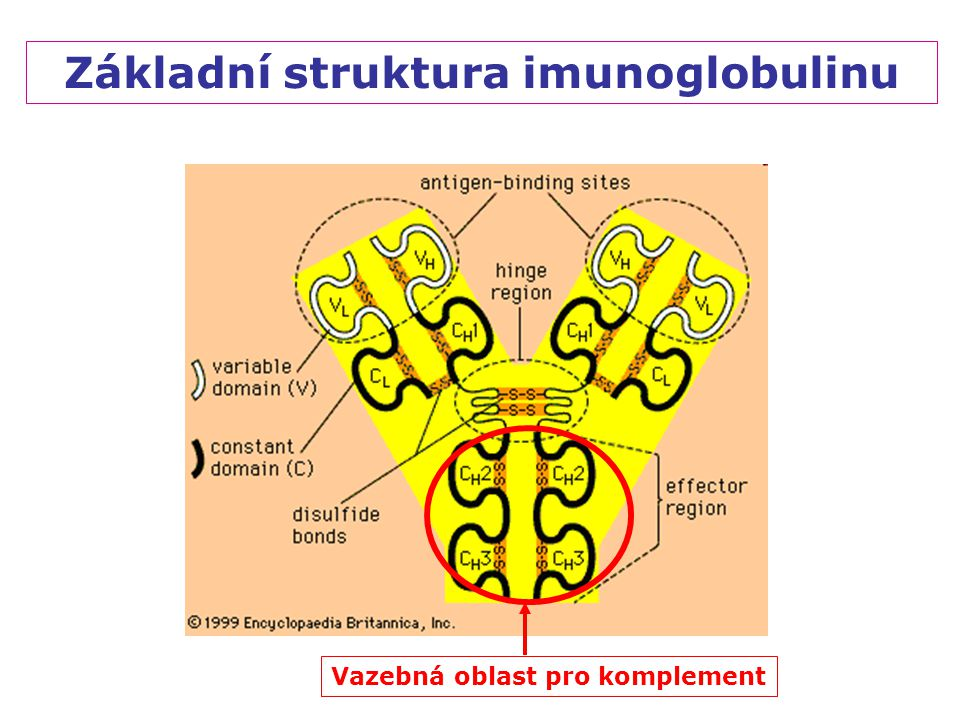Základní struktura imunoglobulinu Vazebná oblast pro komplement