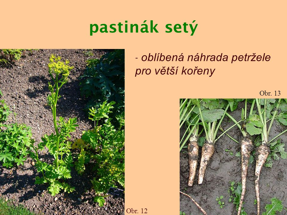 pastinák setý Obr. 12 Obr. 13 - oblíbená náhrada petržele pro větší kořeny