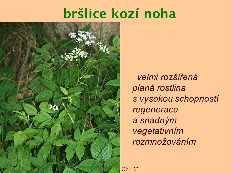 bršlice kozí noha Obr. 23 - velmi rozšířená planá rostlina s vysokou schopností regenerace a snadným vegetativním rozmnožováním