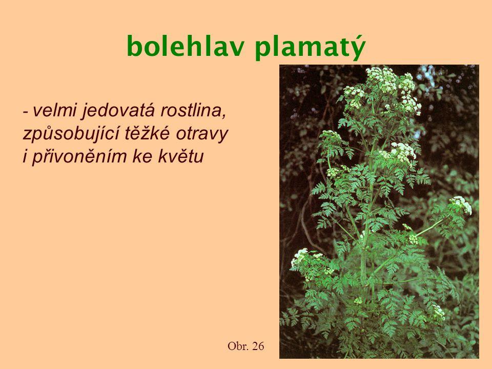 bolehlav plamatý Obr. 26 - velmi jedovatá rostlina, způsobující těžké otravy i přivoněním ke květu