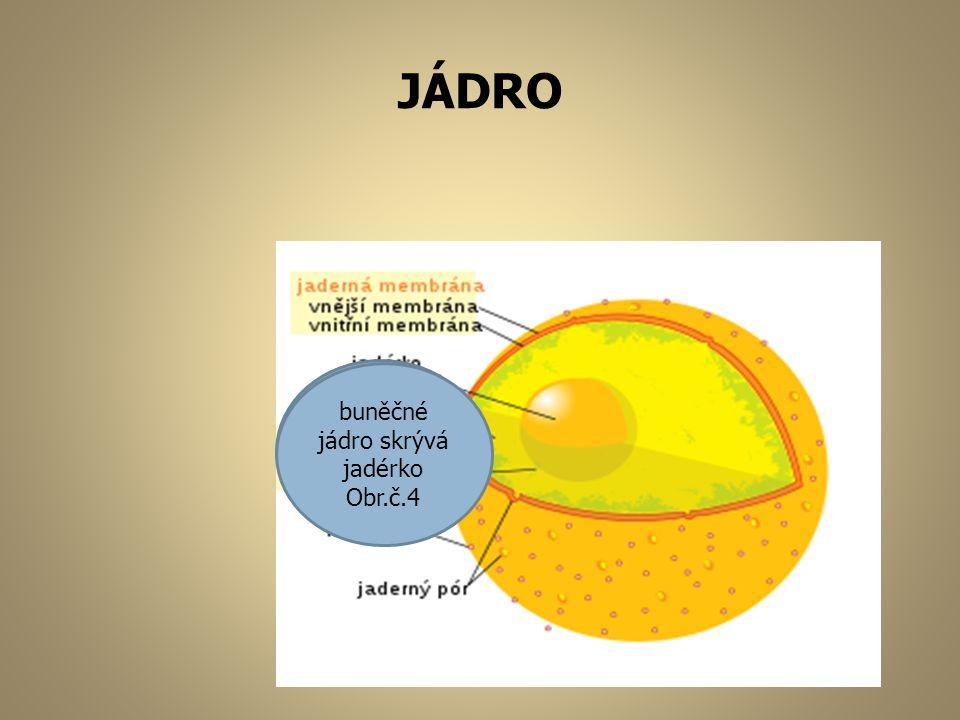 CHLOROPLAST Chloroplasty- zelená tělíska Obr.č.5