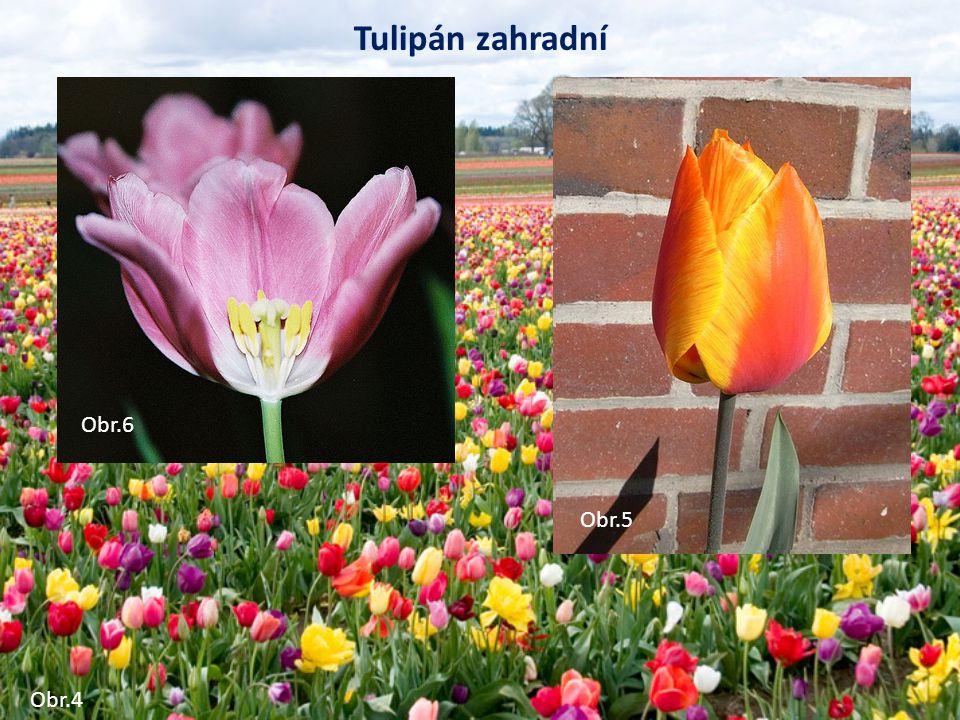 Tulipán zahradní Obr.4 Obr.5 Obr.6