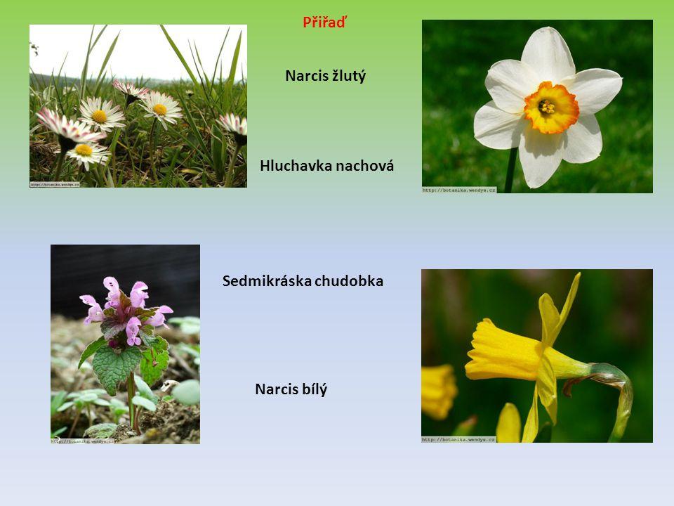 Narcis žlutý Hluchavka nachová Sedmikráska chudobka Narcis bílý Přiřaď