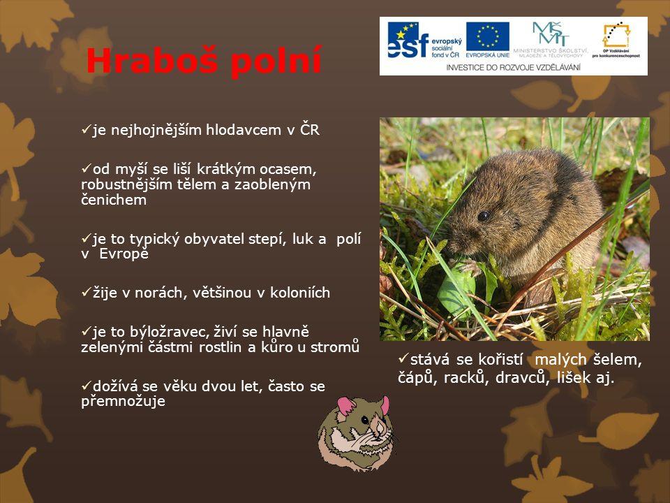 Hraboš polní je nejhojnějším hlodavcem v ČR od myší se liší krátkým ocasem, robustnějším tělem a zaobleným čenichem je to typický obyvatel stepí, luk