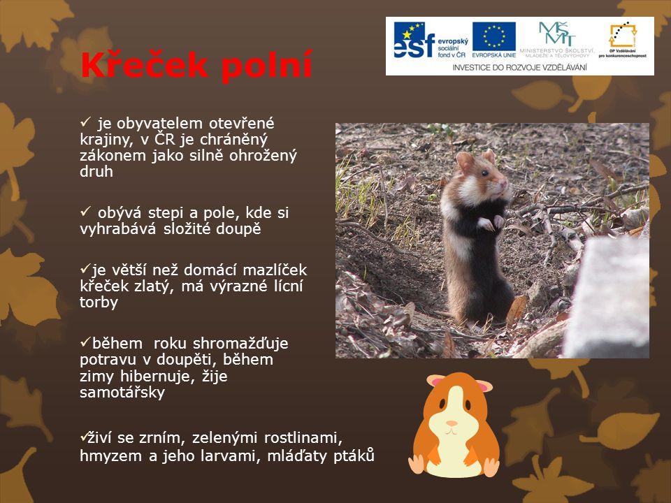 Křeček polní je obyvatelem otevřené krajiny, v ČR je chráněný zákonem jako silně ohrožený druh obývá stepi a pole, kde si vyhrabává složité doupě je v