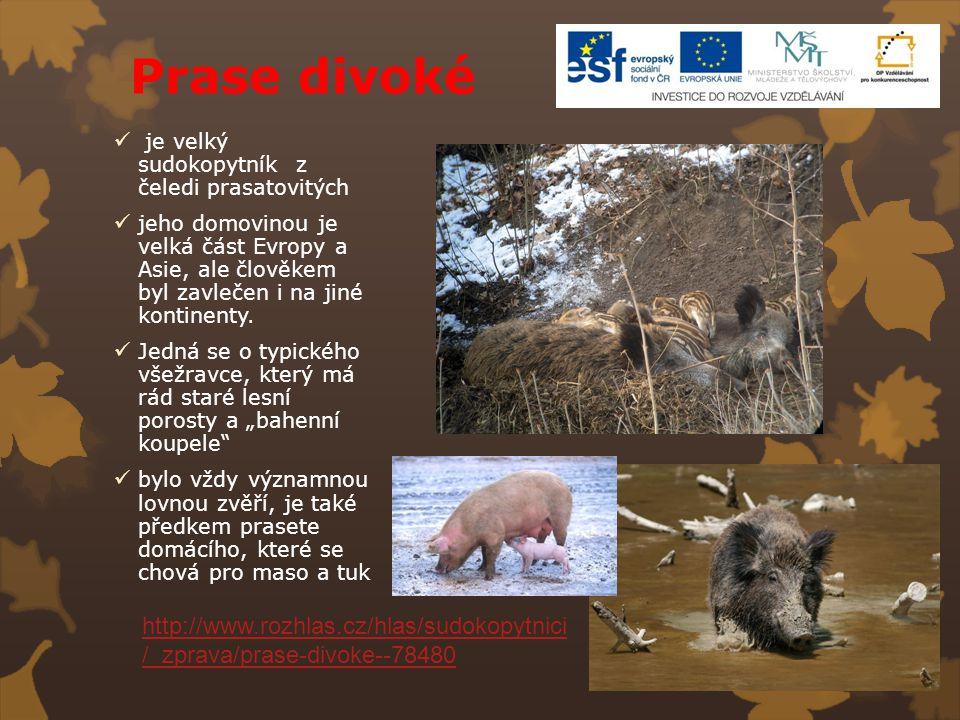 Prase divoké je velký sudokopytník z čeledi prasatovitých jeho domovinou je velká část Evropy a Asie, ale člověkem byl zavlečen i na jiné kontinenty.