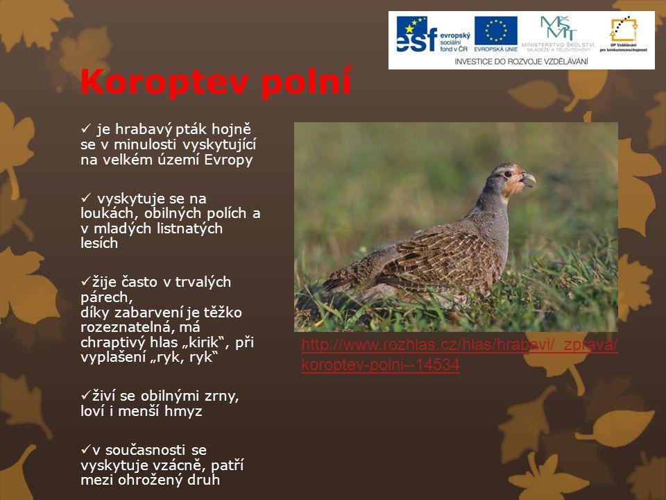 Koroptev polní je hrabavý pták hojně se v minulosti vyskytující na velkém území Evropy vyskytuje se na loukách, obilných polích a v mladých listnatých