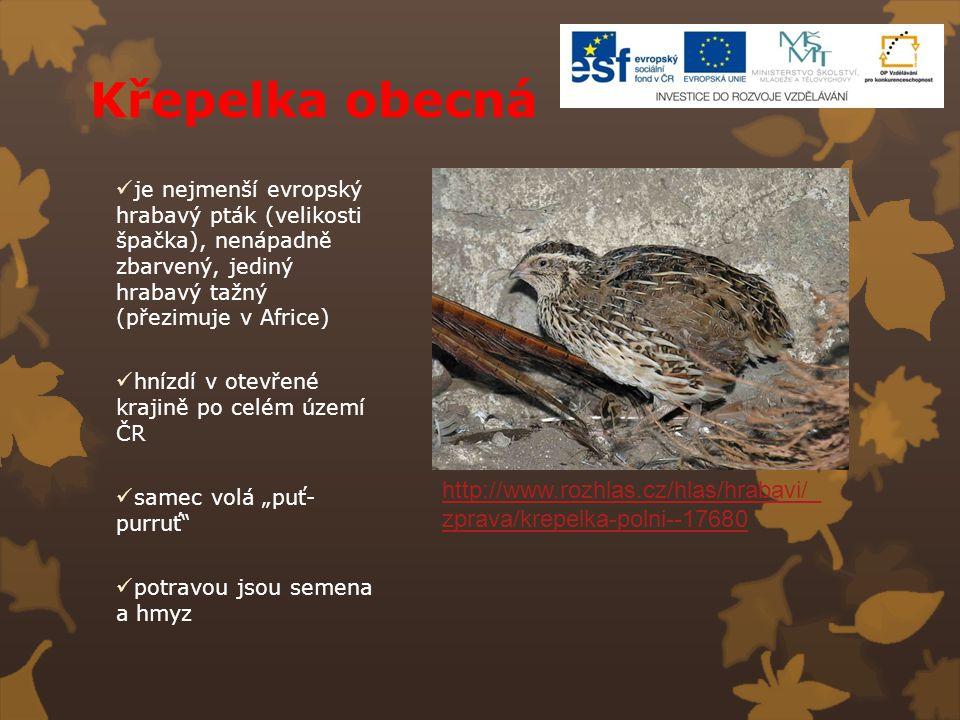 Křepelka obecná je nejmenší evropský hrabavý pták (velikosti špačka), nenápadně zbarvený, jediný hrabavý tažný (přezimuje v Africe) hnízdí v otevřené