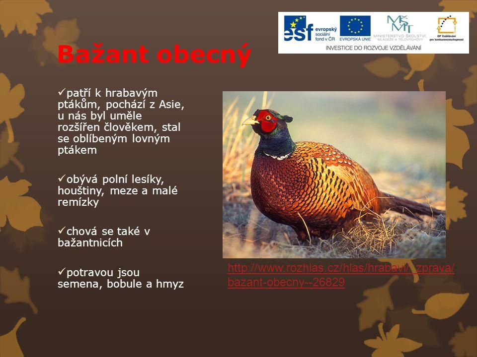 Bažant obecný patří k hrabavým ptákům, pochází z Asie, u nás byl uměle rozšířen člověkem, stal se oblíbeným lovným ptákem obývá polní lesíky, houštiny