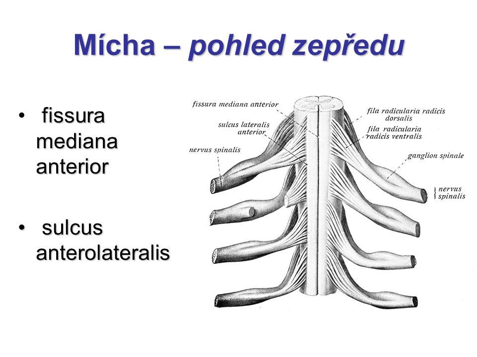 Mícha – pohled zepředu fissura mediana anterior sulcus anterolateralis sulcus anterolateralis
