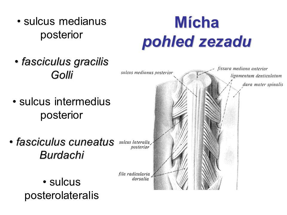 sulcus medianus posterior fasciculus gracilis Golli fasciculus gracilis Golli sulcus intermedius posterior fasciculus cuneatus Burdachi fasciculus cun
