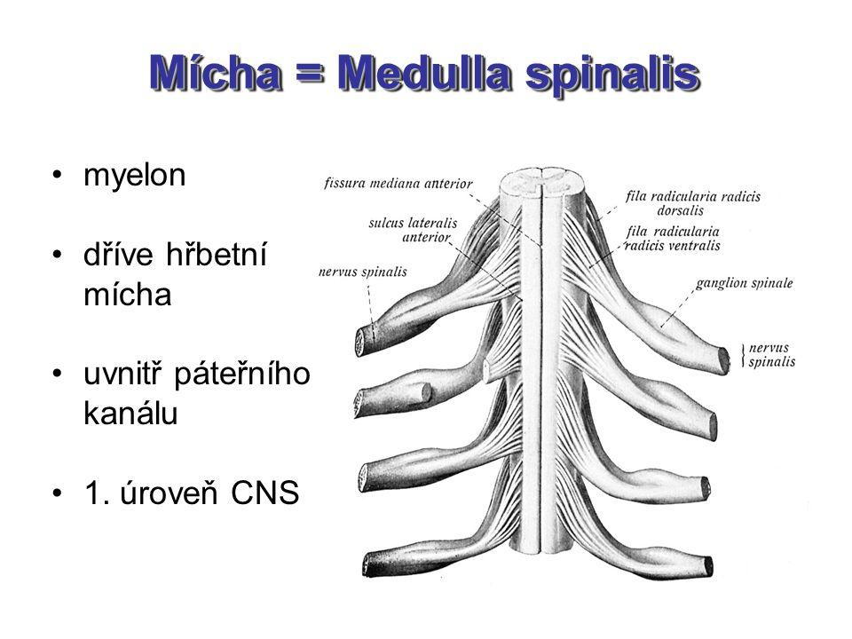 Mícha = Medulla spinalis myelon dříve hřbetní mícha uvnitř páteřního kanálu 1. úroveň CNS