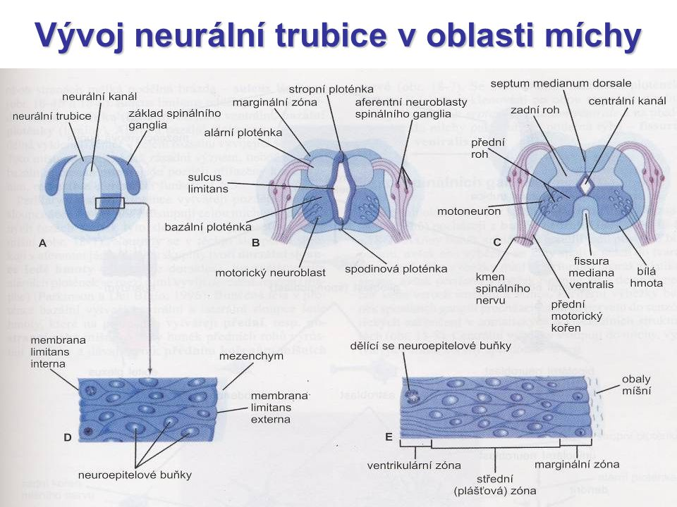 Vývoj neurální trubice v oblasti míchy