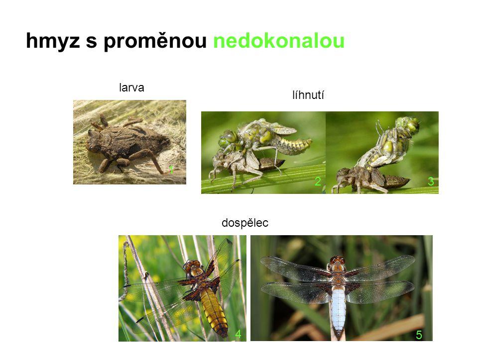 13 4 5 2 larva líhnutí dospělec hmyz s proměnou nedokonalou