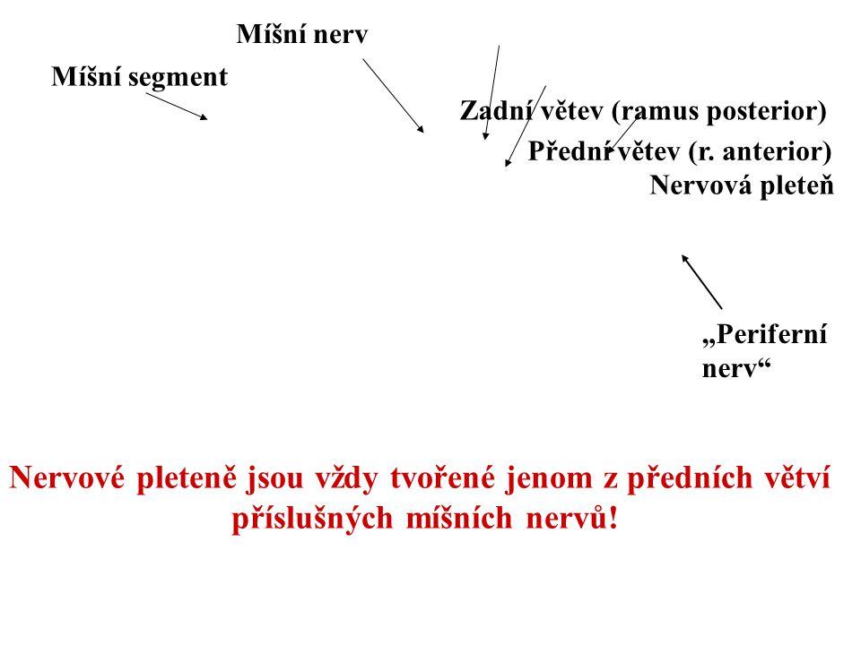 """Nervová pleteň Míšní nerv Zadní větev (ramus posterior) Přední větev (r. anterior) """"Periferní nerv"""" Míšní segment Nervové pleteně jsou vždy tvořené je"""