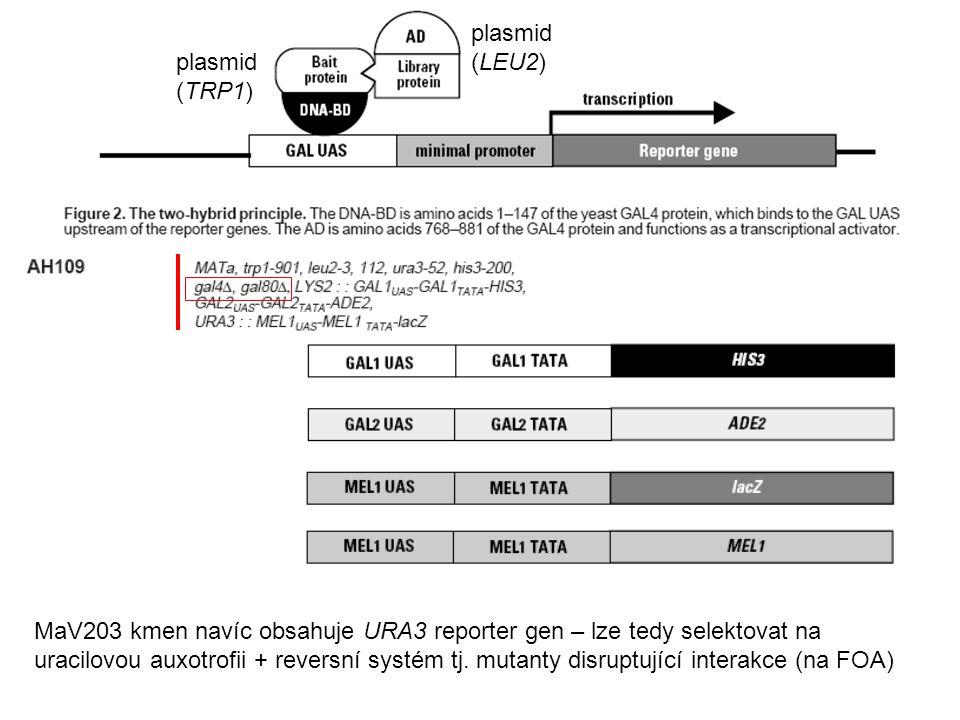MaV203 kmen navíc obsahuje URA3 reporter gen – lze tedy selektovat na uracilovou auxotrofii + reversní systém tj.