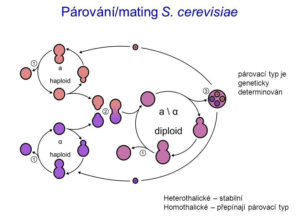 Párování/mating S. cerevisiae párovací typ je geneticky determinován Heterothalické – stabilní Homothalické – přepínají párovací typ