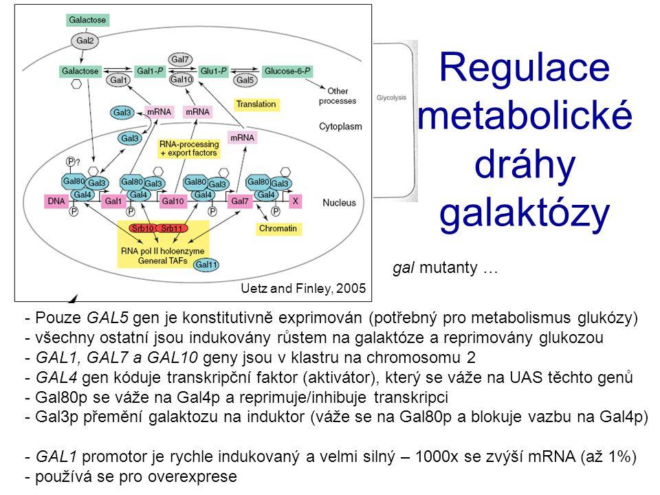 - Pouze GAL5 gen je konstitutivně exprimován (potřebný pro metabolismus glukózy) - všechny ostatní jsou indukovány růstem na galaktóze a reprimovány g