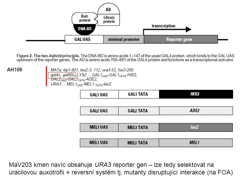 MaV203 kmen navíc obsahuje URA3 reporter gen – lze tedy selektovat na uracilovou auxotrofii + reversní systém tj. mutanty disruptující interakce (na F