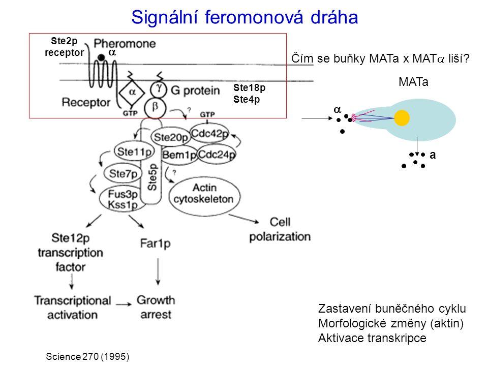 Signální feromonová dráha Ste18p Ste4p Science 270 (1995) Ste2p receptor Zastavení buněčného cyklu Morfologické změny (aktin) Aktivace transkripce MAT