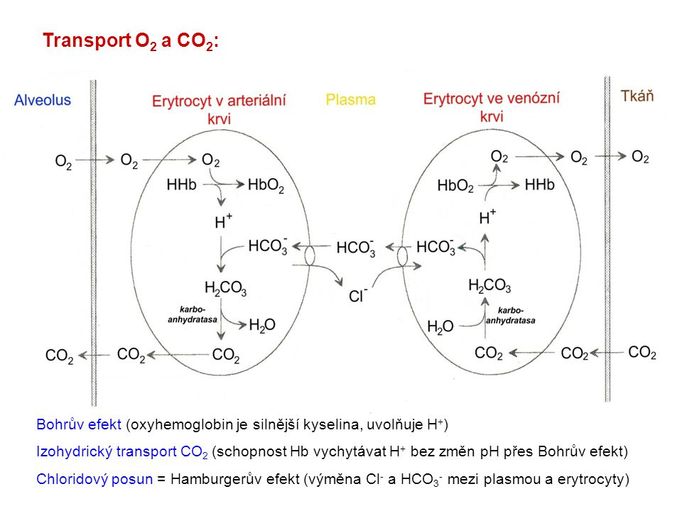 Transport O 2 a CO 2 : Bohrův efekt (oxyhemoglobin je silnější kyselina, uvolňuje H + ) Izohydrický transport CO 2 (schopnost Hb vychytávat H + bez zm