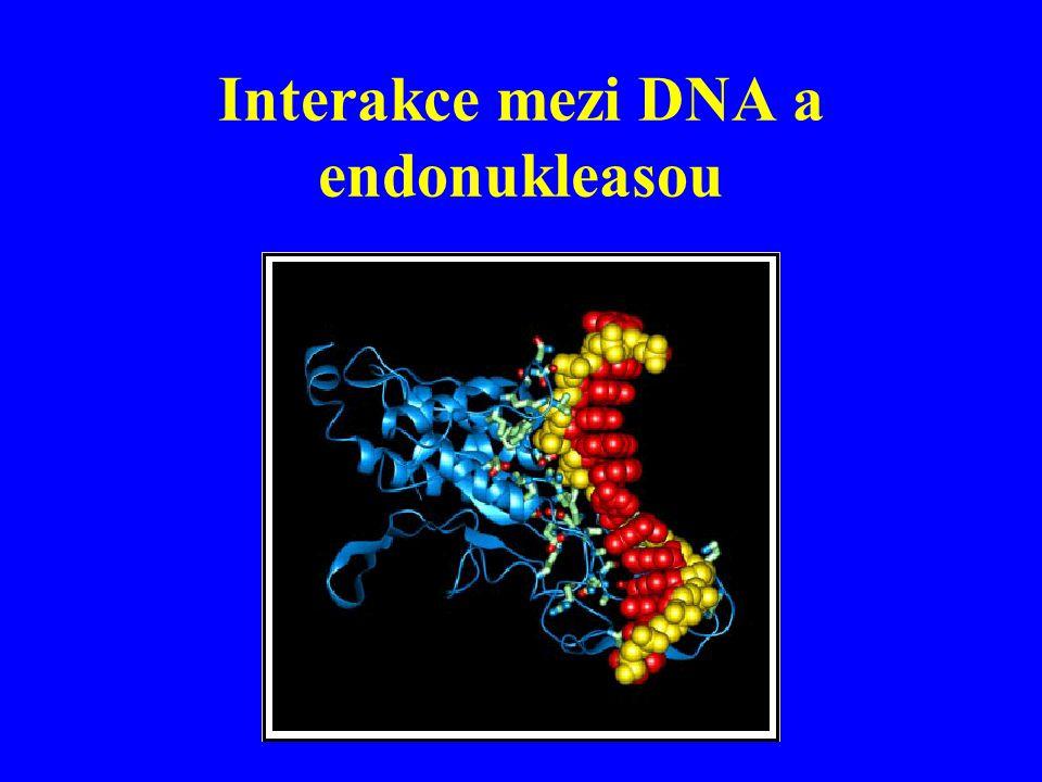 Interakce mezi DNA a endonukleasou