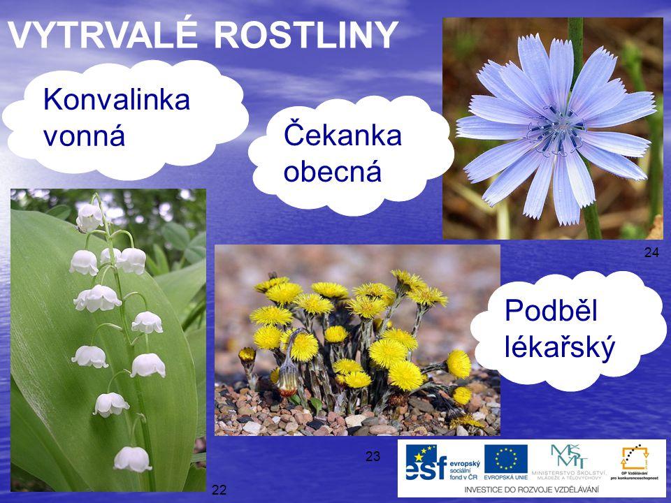 ● víceleté rostliny ● několikrát kvetou a mají semena VYTRVALÉ 21 ROSTLINY
