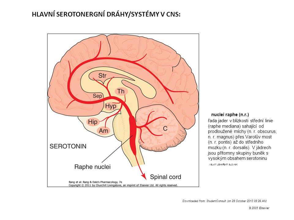 Downloaded from: StudentConsult (on 28 October 2013 08:26 AM) © 2005 Elsevier HLAVNÍ SEROTONERGNÍ DRÁHY/SYSTÉMY V CNS: nuclei raphe (n.r.) řada jader