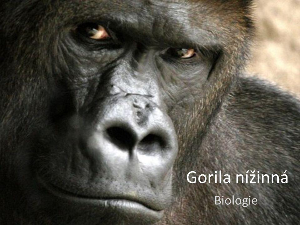 Obecné informace Je jedním ze dvou druhů goril Je jedním ze dvou druhů goril V přírodě dorůstají výšky 150 cm a váhy 150 kg V přírodě dorůstají výšky 150 cm a váhy 150 kg Žije v Africe v nížinných deštných pralesech Žije v Africe v nížinných deštných pralesech Jsou to převážně vegetariáni Jsou to převážně vegetariáni
