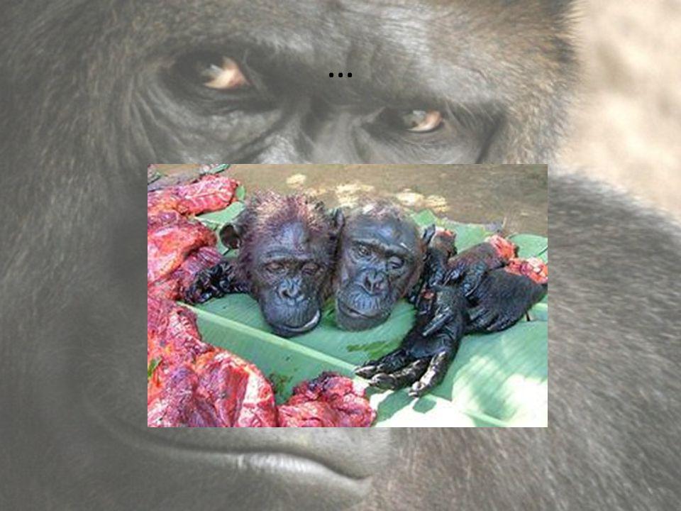 Gorily v Zoo V České republice gorily žijí v Zoo v Praze a Dvoře Králové Dříve žily gorily i v Zoo v Lešné, kde ovšem nedávno obě uhynuly V Pražské zoologické zahradě se gorily dokonce daří rozmnožovat