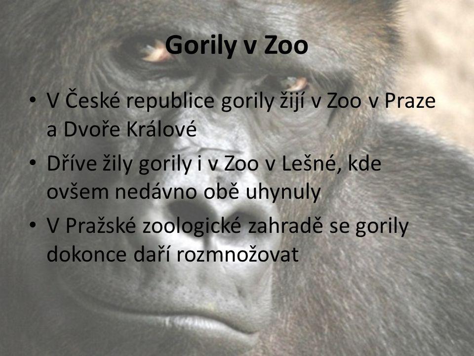 Gorily v Zoo V České republice gorily žijí v Zoo v Praze a Dvoře Králové Dříve žily gorily i v Zoo v Lešné, kde ovšem nedávno obě uhynuly V Pražské zo