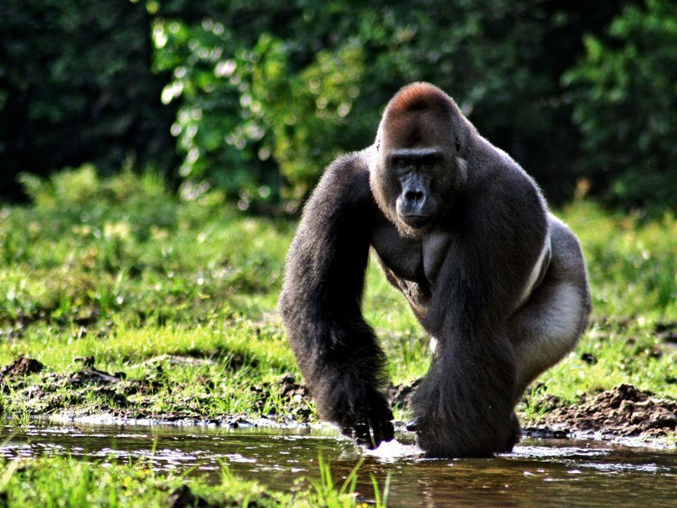 Zdroje http://cs.wikipedia.org/wiki/Gorila_n%C3%AD%C5%BEinn%C3%A1 http://www.zooliberec.cz/cz/katalog/savci/gorila-nizinna/254 https://news.uns.purdue.edu/images/2010/western-lowland- gorilla.jpg https://news.uns.purdue.edu/images/2010/western-lowland- gorilla.jpg http://www.wildlifeextra.com/resources/listimg/world/Africa/bush meat-traffic@body2.jpg http://www.wildlifeextra.com/resources/listimg/world/Africa/bush meat-traffic@body2.jpg http://mw2.google.com/mw- panoramio/photos/medium/48344349.jpg http://mw2.google.com/mw- panoramio/photos/medium/48344349.jpg http://upload.wikimedia.org/wikipedia/commons/2/2b/Status_iucn 3.1_CR_cs.svg http://upload.wikimedia.org/wikipedia/commons/2/2b/Status_iucn 3.1_CR_cs.svg http://upload.wikimedia.org/wikipedia/commons/thumb/d/d2/ZL_ Gorilla_(genus).png/258px-ZL_Gorilla_(genus).png http://upload.wikimedia.org/wikipedia/commons/thumb/d/d2/ZL_ Gorilla_(genus).png/258px-ZL_Gorilla_(genus).png http://i.idnes.cz/11/091/cl6/MCE3da00e_Richard_foto_archiv_Zoo _Praha.jpg