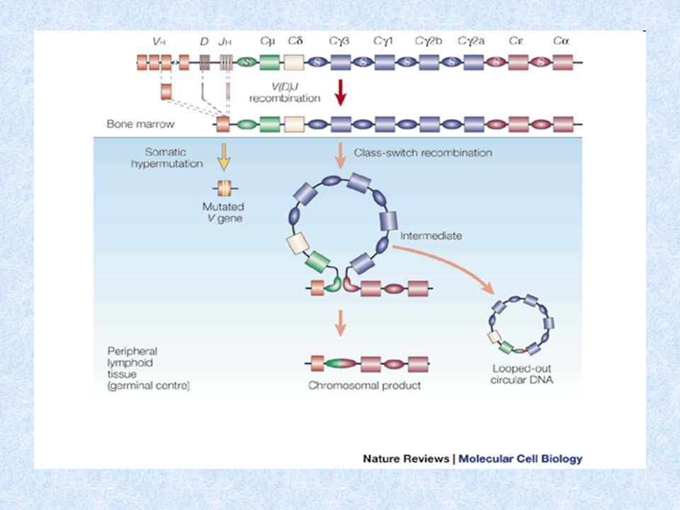 Izotypový přesmyk (class switch) - pokračování Cytokiny regulují k jakému izotypovému přesmyku dojde: IL-4 stimuluje přesmyk na IgE a IgG4, (u myší IgG1) TGF  stimuluje přesmyk na IgG2 a IgA