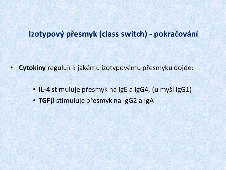 Izotypový přesmyk (class switch) - pokračování Cytokiny regulují k jakému izotypovému přesmyku dojde: IL-4 stimuluje přesmyk na IgE a IgG4, (u myší Ig