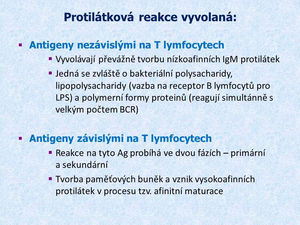 Protilátková reakce vyvolaná:  Antigeny nezávislými na T lymfocytech  Vyvolávají převážně tvorbu nízkoafinních IgM protilátek  Jedná se zvláště o b