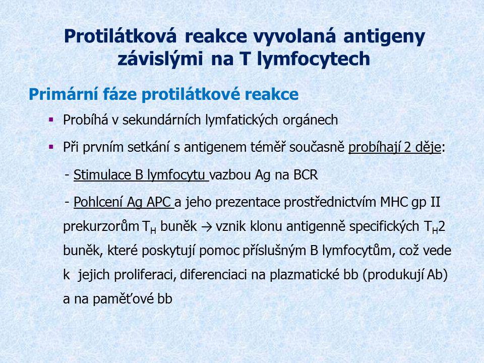 Protilátková reakce vyvolaná antigeny závislými na T lymfocytech Primární fáze protilátkové reakce  Probíhá v sekundárních lymfatických orgánech  Př