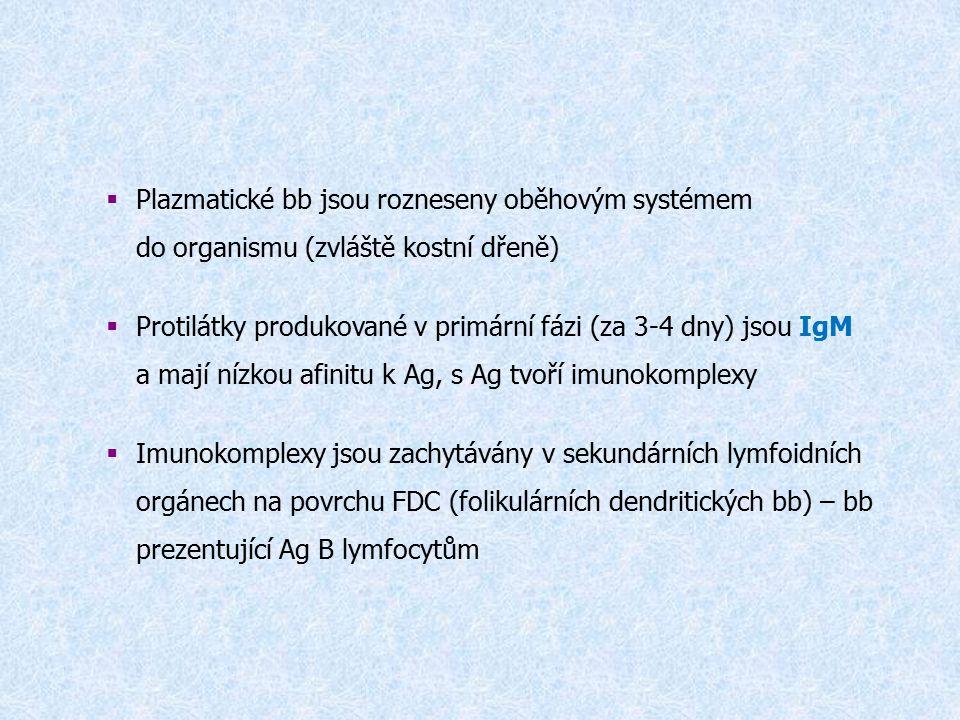  Plazmatické bb jsou rozneseny oběhovým systémem do organismu (zvláště kostní dřeně)  Protilátky produkované v primární fázi (za 3-4 dny) jsou IgM a