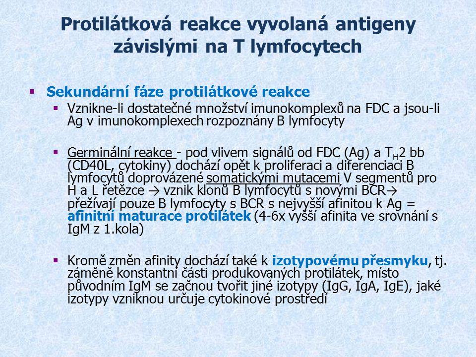 Protilátková reakce vyvolaná antigeny závislými na T lymfocytech  Sekundární fáze protilátkové reakce  Vznikne-li dostatečné množství imunokomplexů