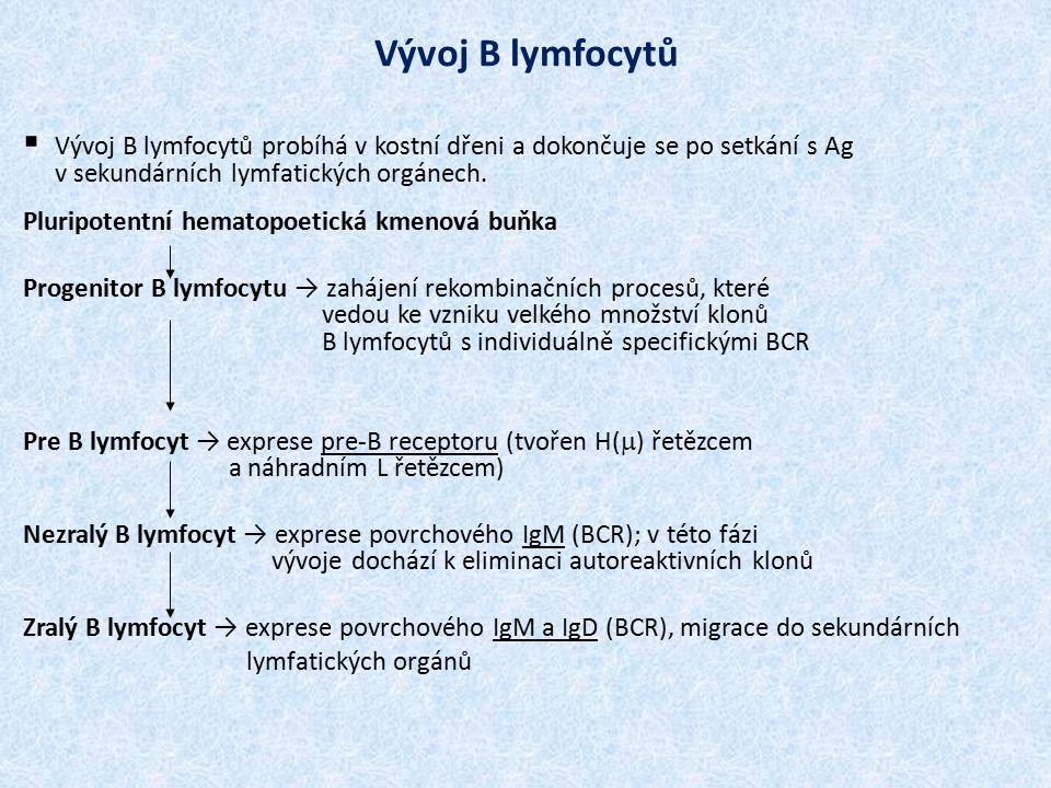 Vývoj B lymfocytů  Vývoj B lymfocytů probíhá v kostní dřeni a dokončuje se po setkání s Ag v sekundárních lymfatických orgánech. Pluripotentní hemato