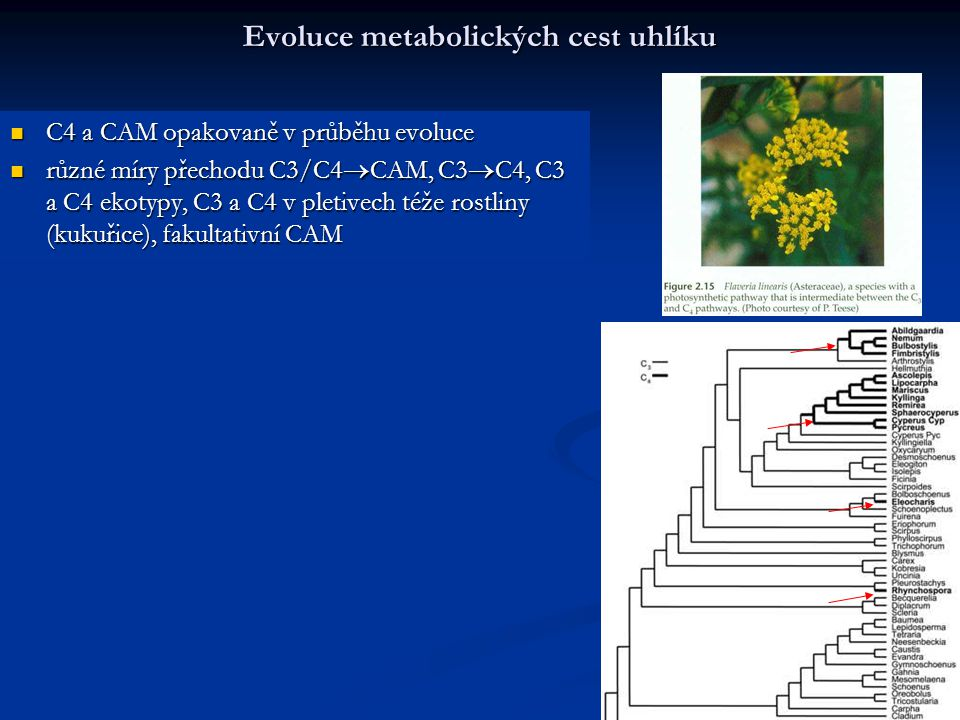 Evoluce metabolických cest uhlíku C4 a CAM opakovaně v průběhu evoluce C4 a CAM opakovaně v průběhu evoluce různé míry přechodu C3/C4  CAM, C3  C4,