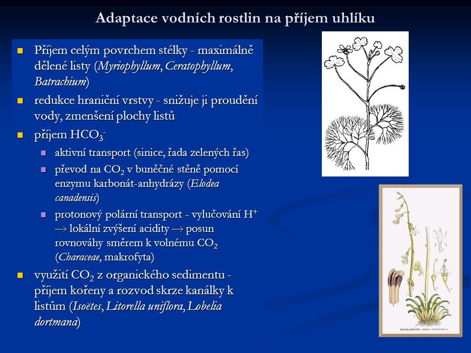 Adaptace vodních rostlin na příjem uhlíku Příjem celým povrchem stélky - maximálně dělené listy (Myriophyllum, Ceratophyllum, Batrachium) Příjem celým