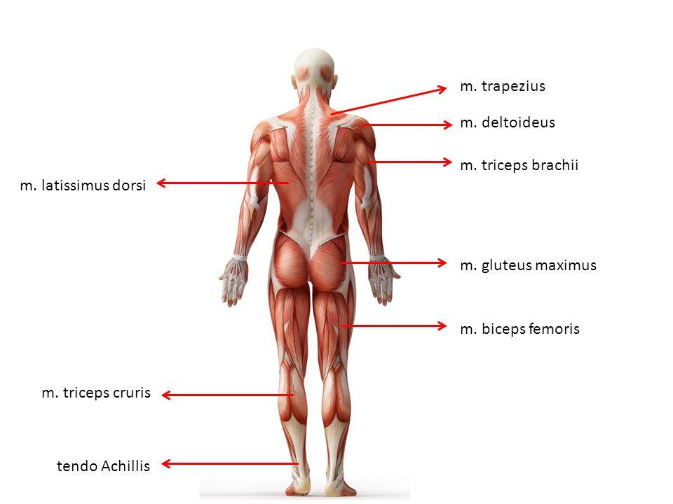 m. deltoideus m. triceps cruris m. trapezius m. latissimus dorsi m. triceps brachii m. gluteus maximus m. biceps femoris tendo Achillis