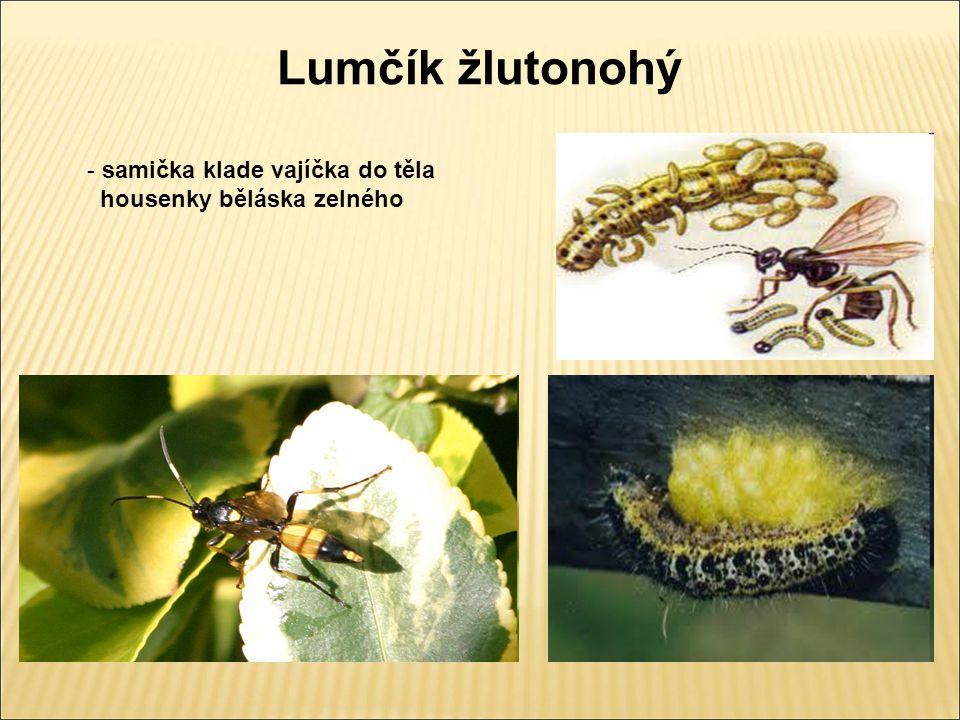Lumčík žlutonohý - samička klade vajíčka do těla housenky běláska zelného
