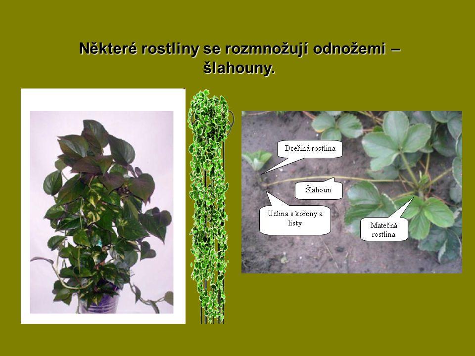 Některé rostliny se rozmnožují odnožemi – šlahouny.