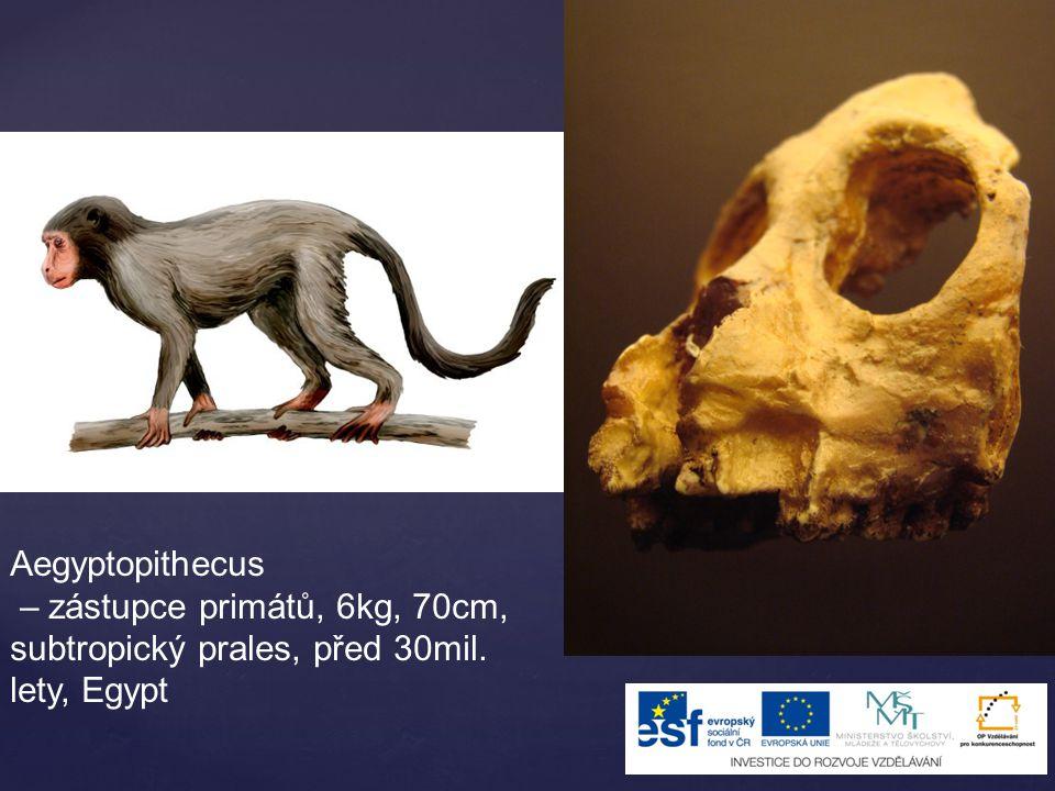 Aegyptopithecus – zástupce primátů, 6kg, 70cm, subtropický prales, před 30mil. lety, Egypt